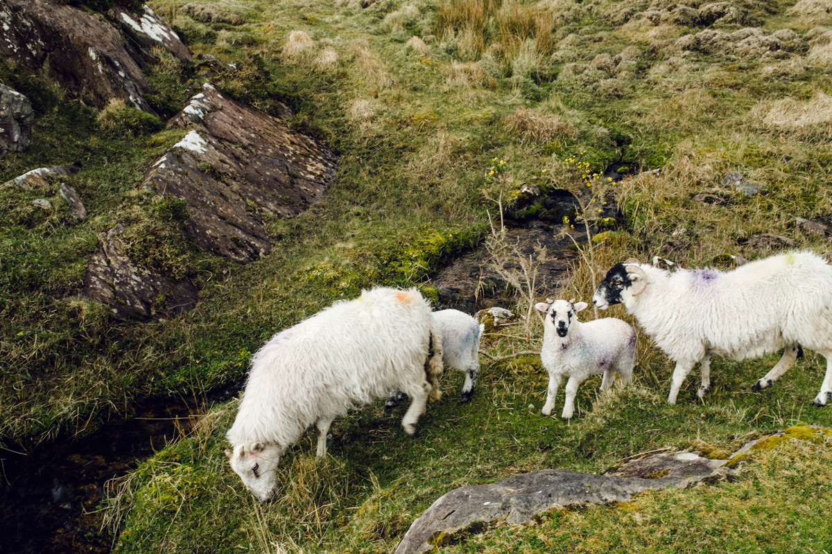 Moutons irlandais – The Gap of Dunloe – Ring of Kerry, Irlande