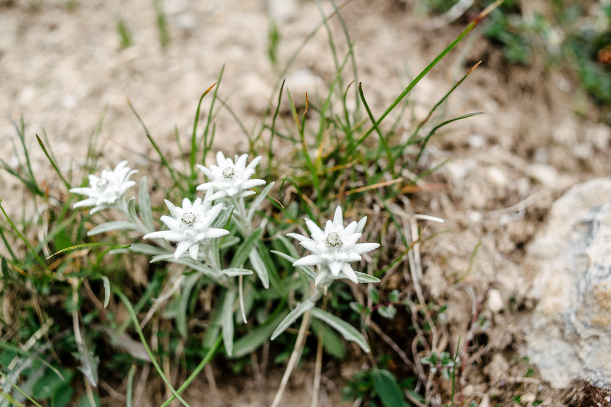 Edelweiss – Parc National Suisse, Grisons