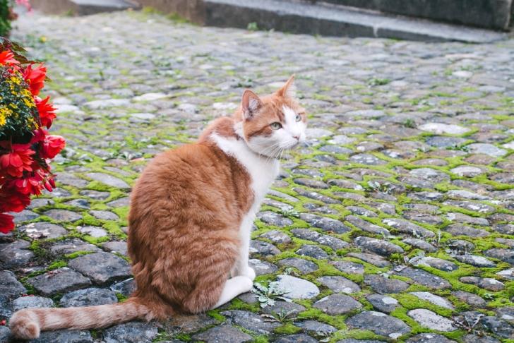 Un autre chat fribourgeois