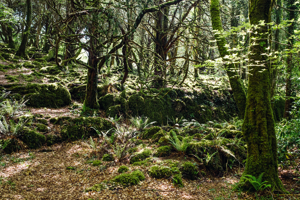 Muckross Forest, Killarney National Park – Ring of Kerry