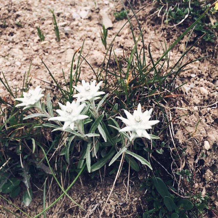 Des edelweiss !