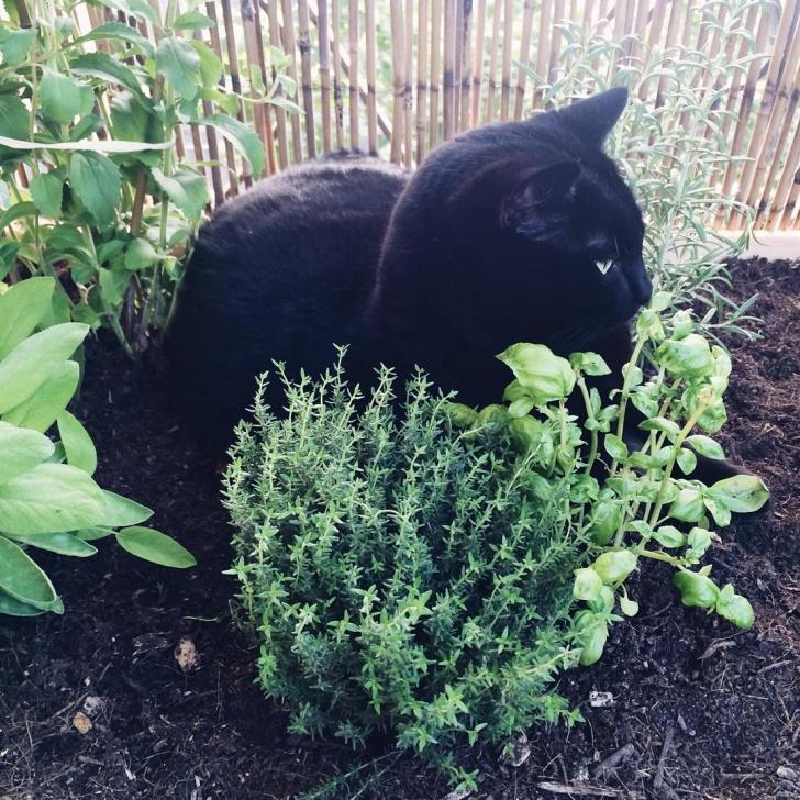 Le gros chat qui sniffait le plant de thym