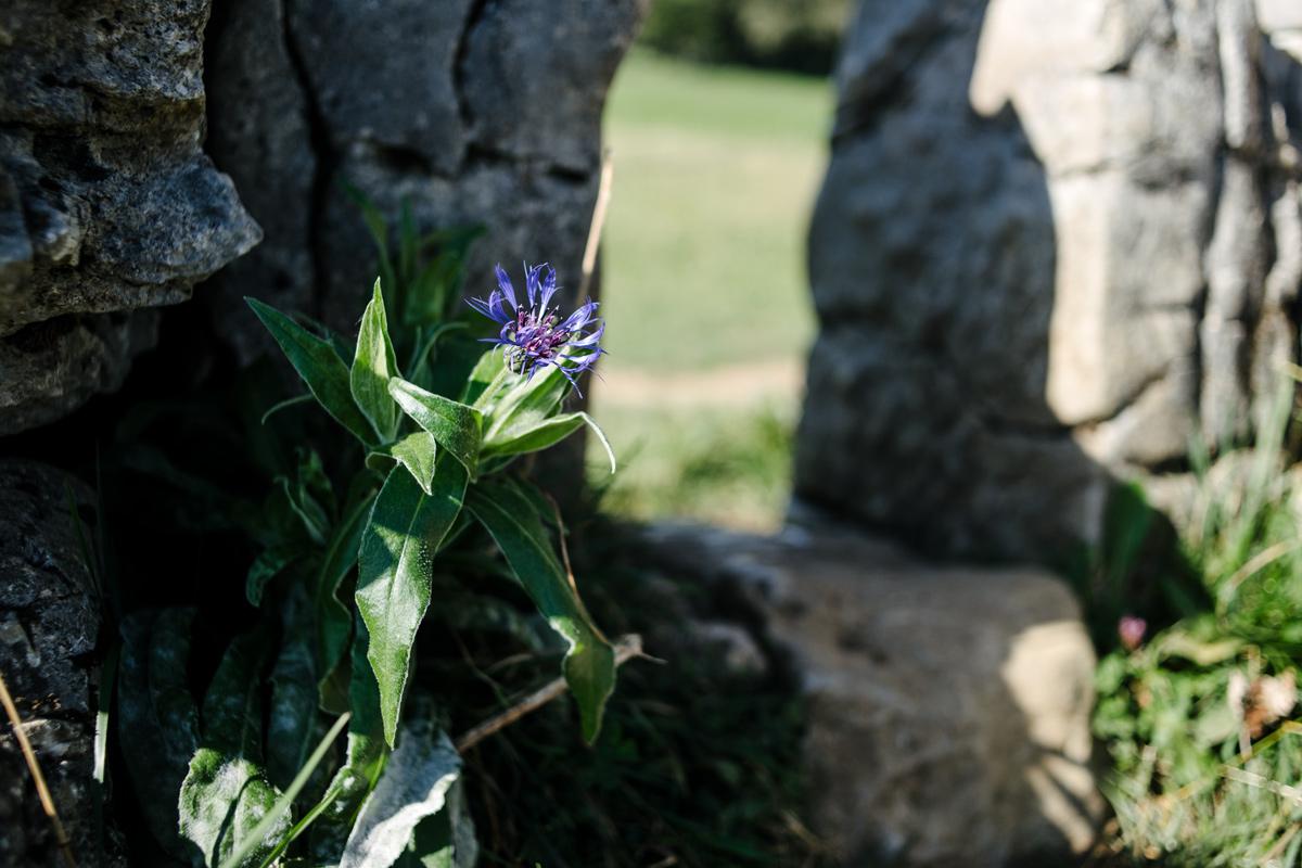 Le Creux du Van –Fleur sauvage