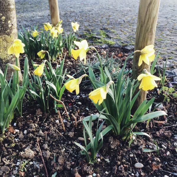 Les premières jonquilles du printemps