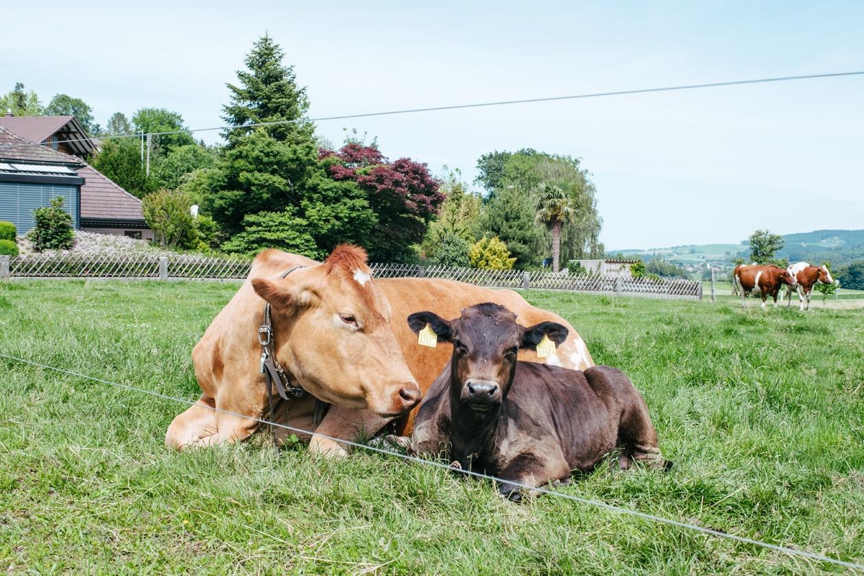 Piemo et Odessa, un jeune veau et une vache tous deux rescapés de l'industrie laitière et pensionnaires du Tierarche Seeland