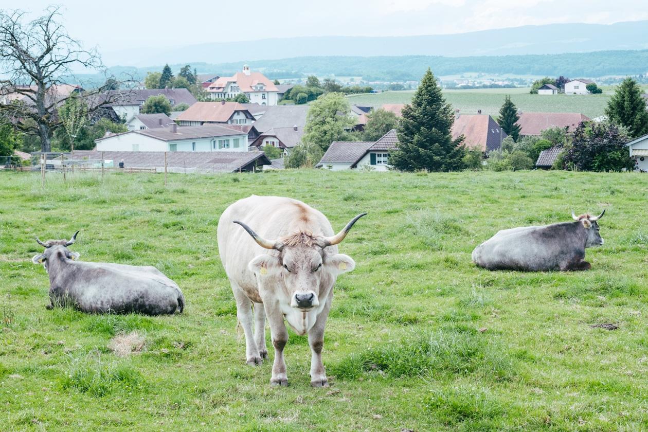 Les vaches rescapées du Tierarche Seeland