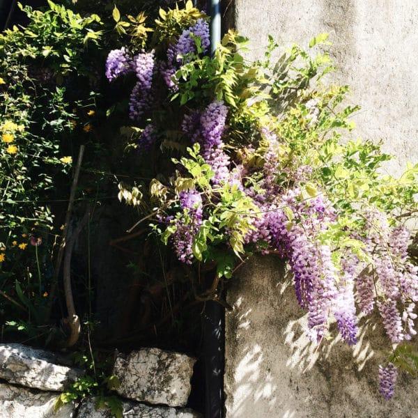 La jolie glycine dans les rues d'un petit village du bord du lac de Bienne