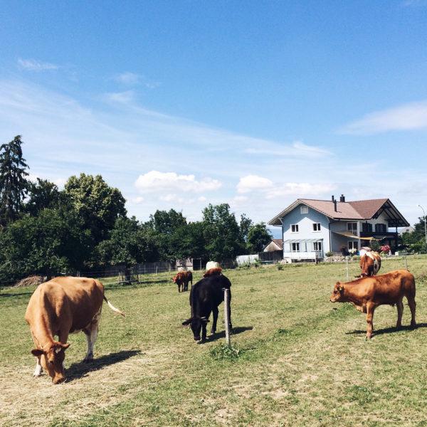 Les vaches libres du sanctuaire de Kallnach, dans le Seeland Bernois