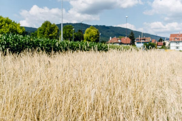 Terrain de la Gurzelen, Bienne – Champ de céréales