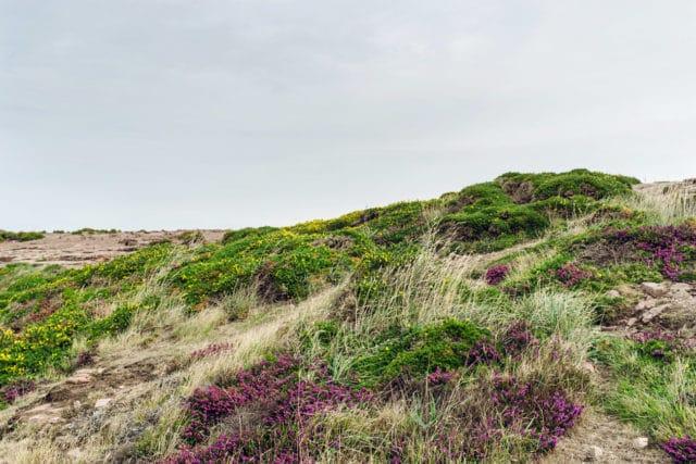 Bretagne, lande de bruyère et d'ajoncs au Cap Fréhel