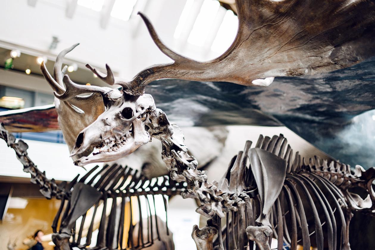 Squelette d'un élan exposé au Musée d'Histoire Naturelle de Londres