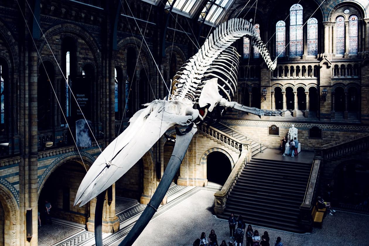 Squelette de baleine bleue suspendue dans le grand hall d'accueil du Musée d'Histoire Naturelle de Londres