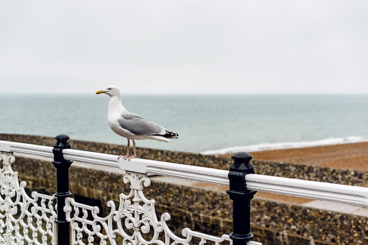 Mouette posée sur la barrière de la jetée de Brighton