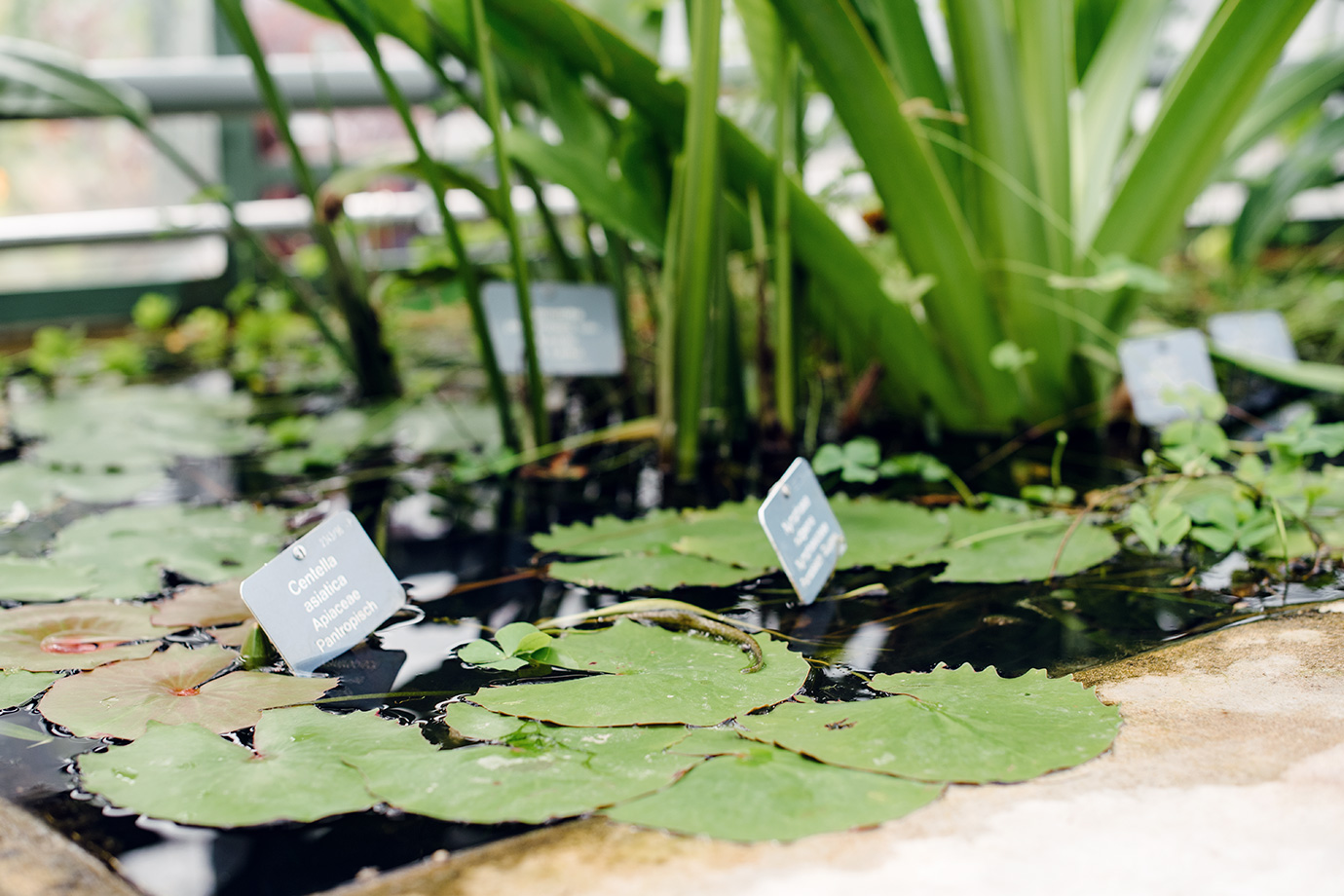 Bassin de nénuphars dans la serre Victoria du jardin botanique de Bâle