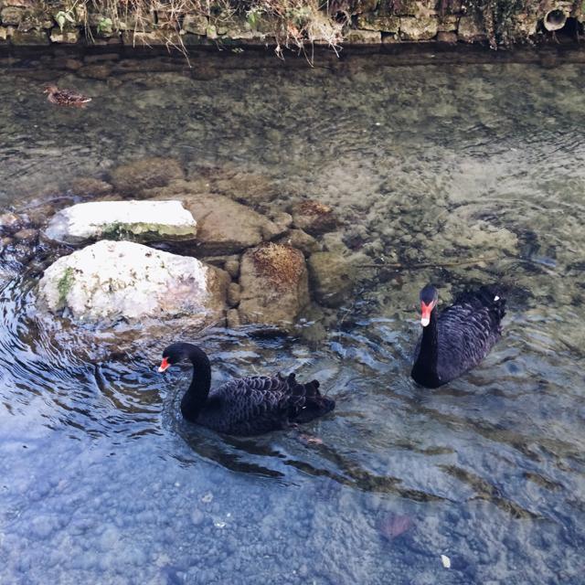 Les cygnes noirs du canal de la Suze