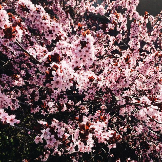 Prunus couvert d'un millier de petites fleurs roses