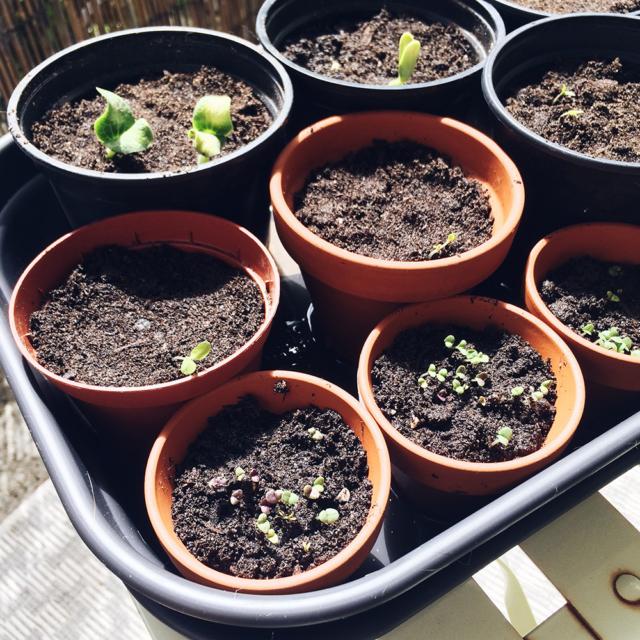 Potager 2019: semis de courgettes, tomates et basilic