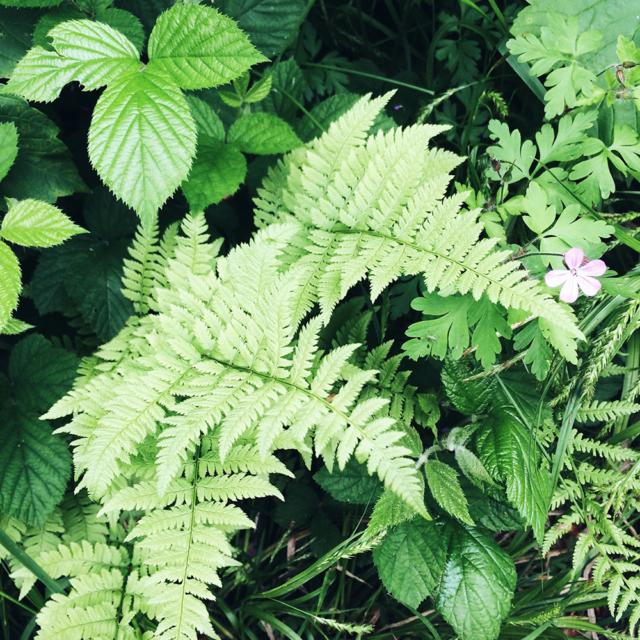 Les jolies feuilles de fougères