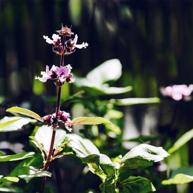 Potager 2019: fleurs de basilic pourpre