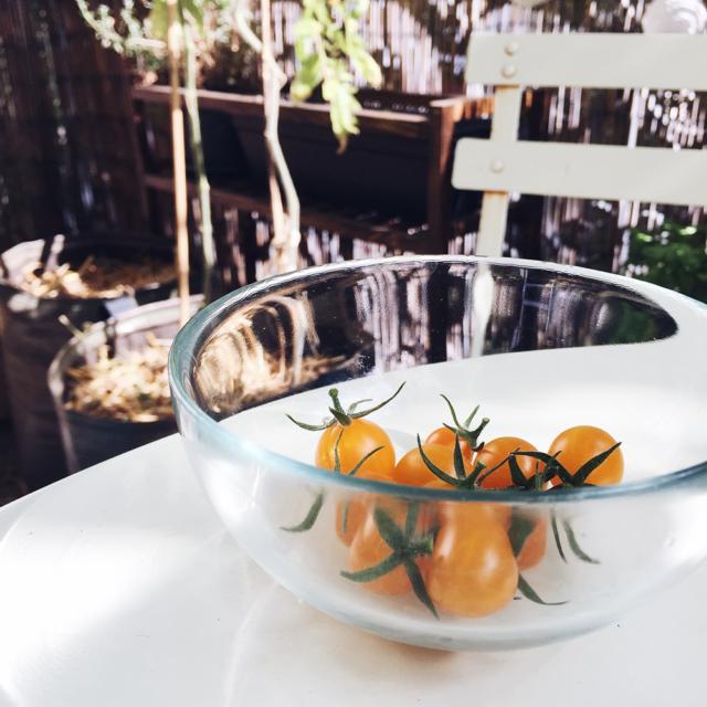 Potager 2019: petite récolte de tomates cerises