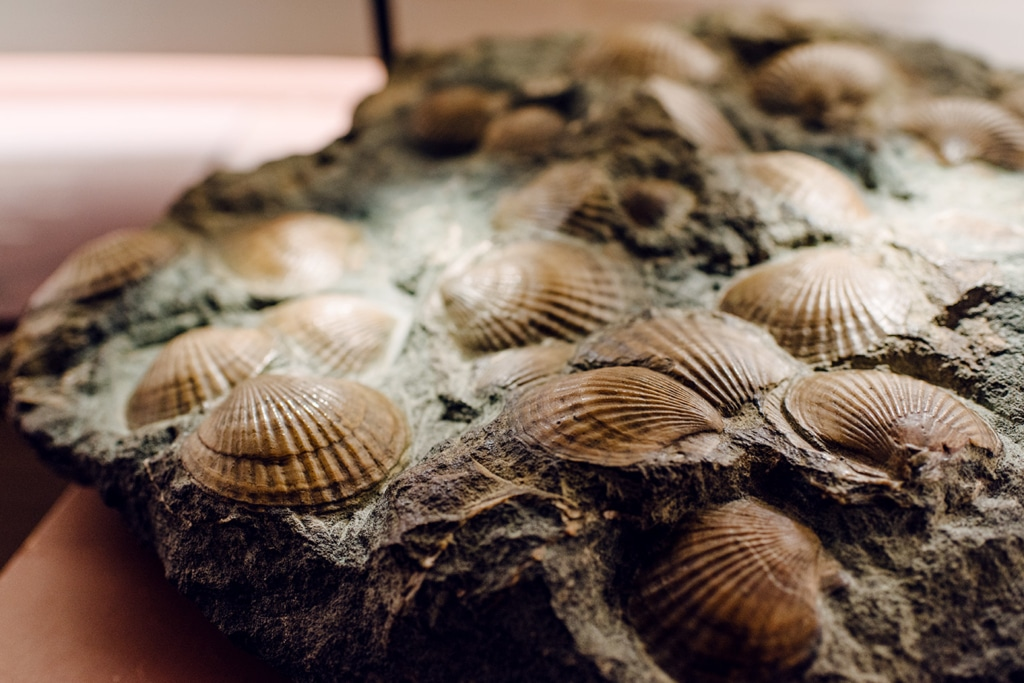 Musée d'histoire naturelle de Venise: coquillages accrochés à un morceau de rocher
