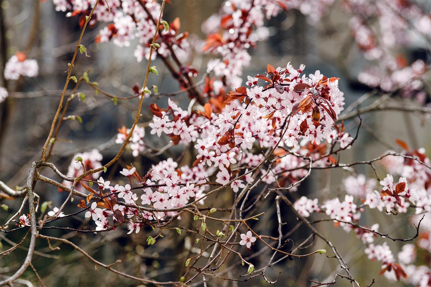 Prunus en fleurs au tout début du printemps