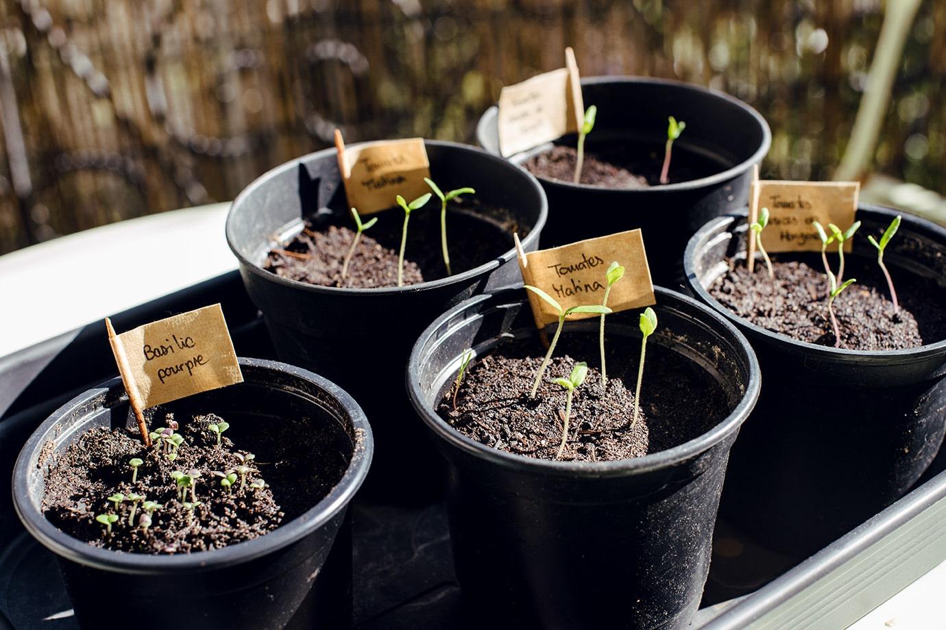 Jeunes pousses de tomates et de basilic
