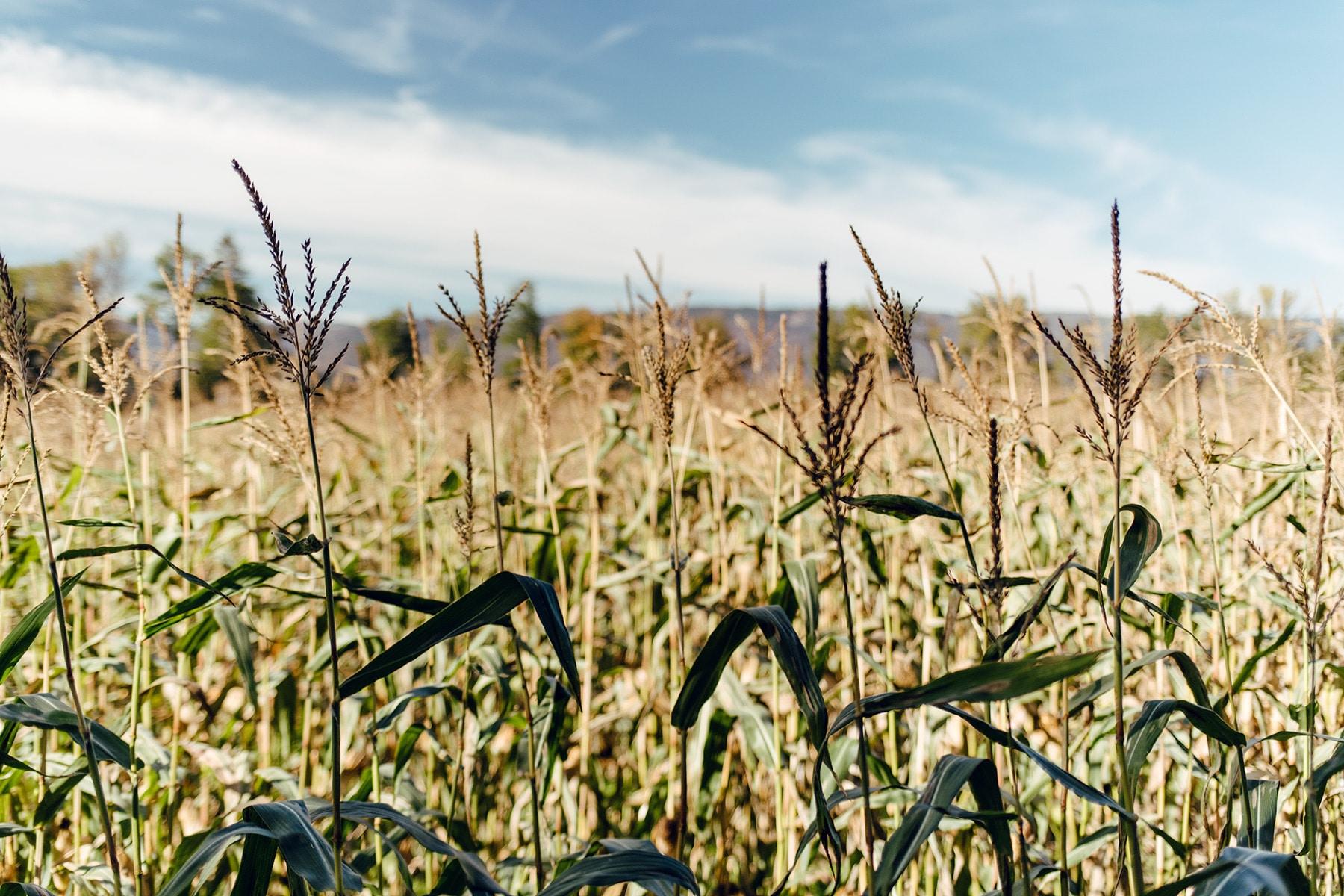 Promenade à travers les champs du Seeland, le long de l'ancienne Aar