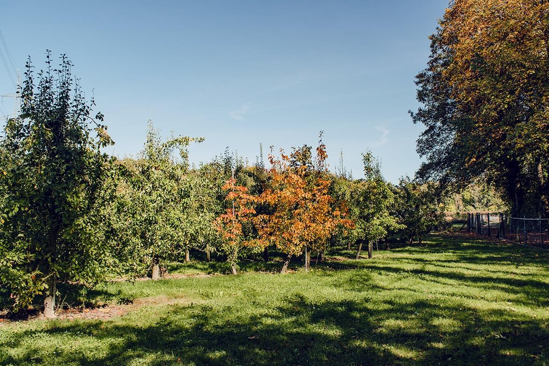 Verger de pommiers à proximité de l'ancienne Aar, dans le Seeland bernois