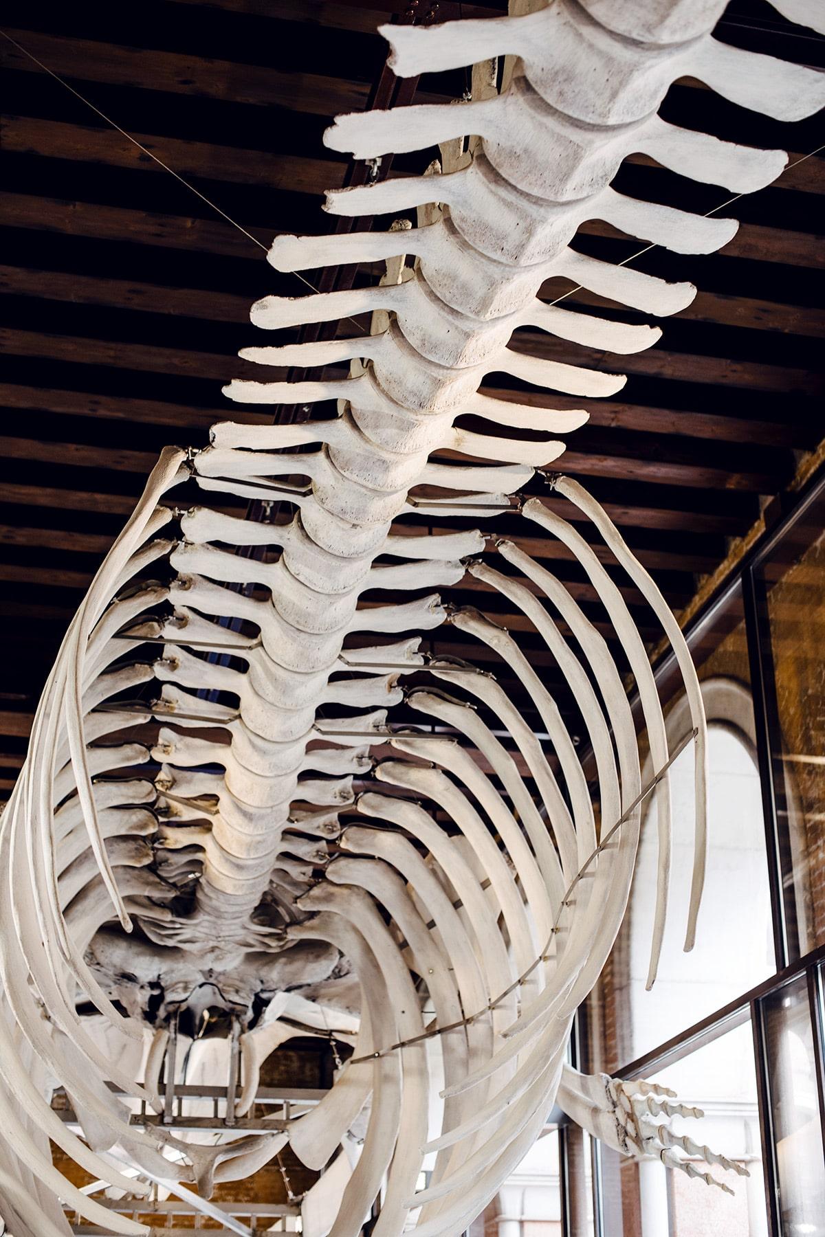 Squelette de baleine exposé au musée d'histoire naturelle de Venise