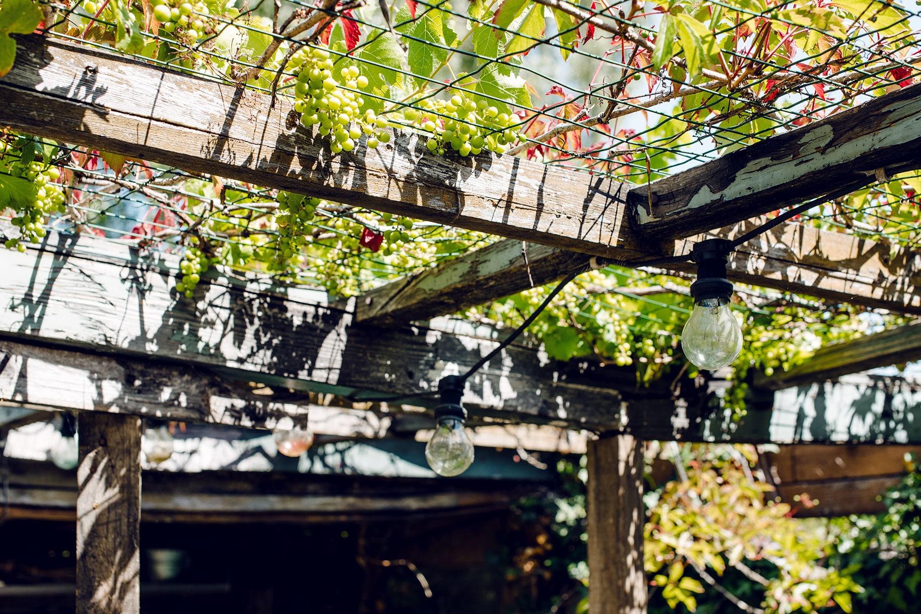 Vigne sauvage poussant sur le toit d'une véranda abandonnée