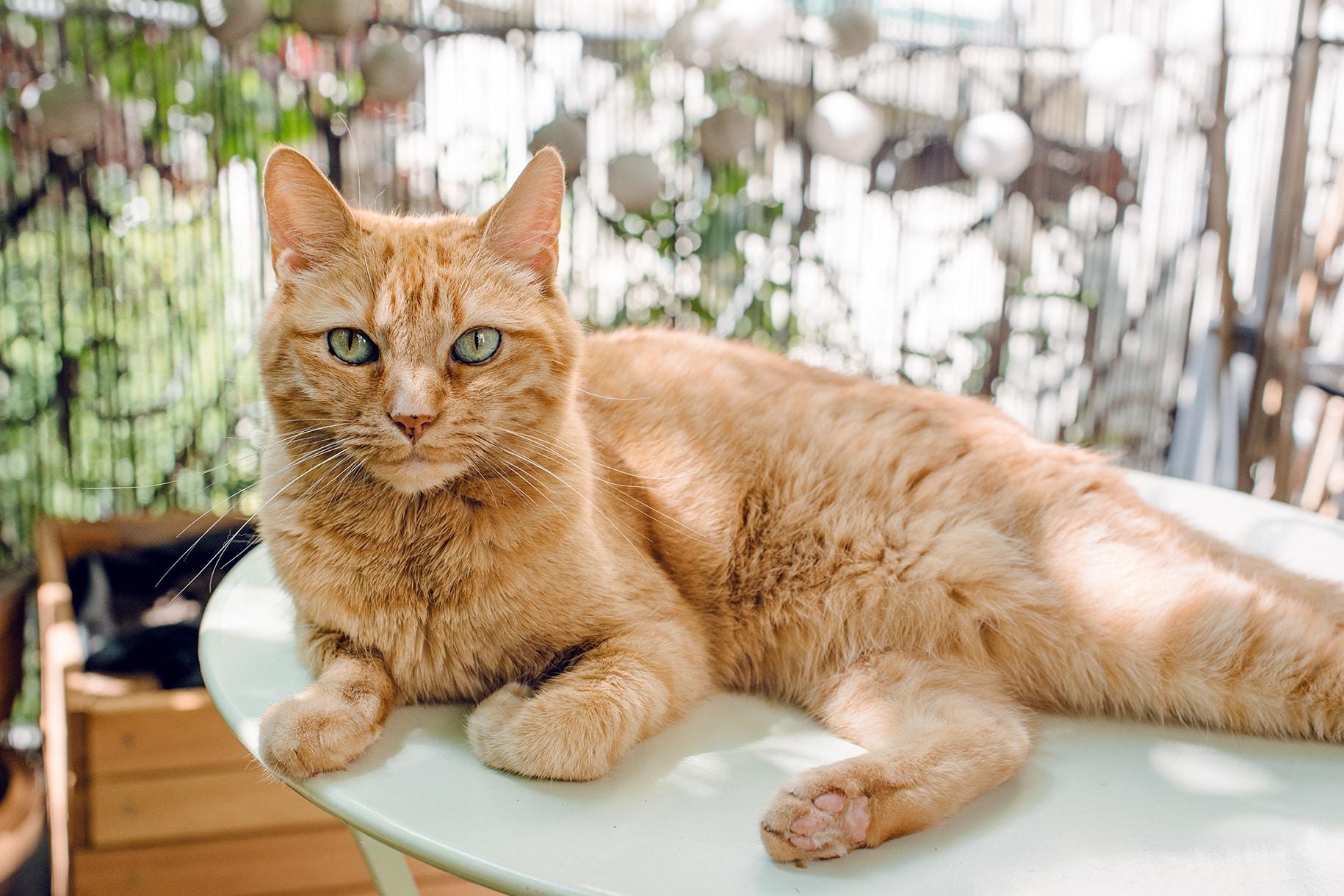 Mon petit chat orange installée sur la table du balcon