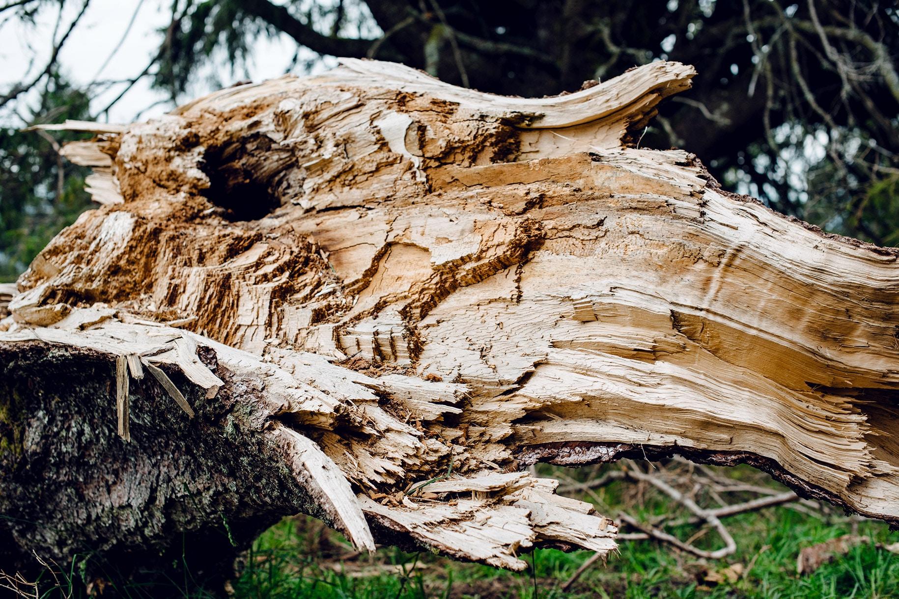 Tronc d'arbre cassé