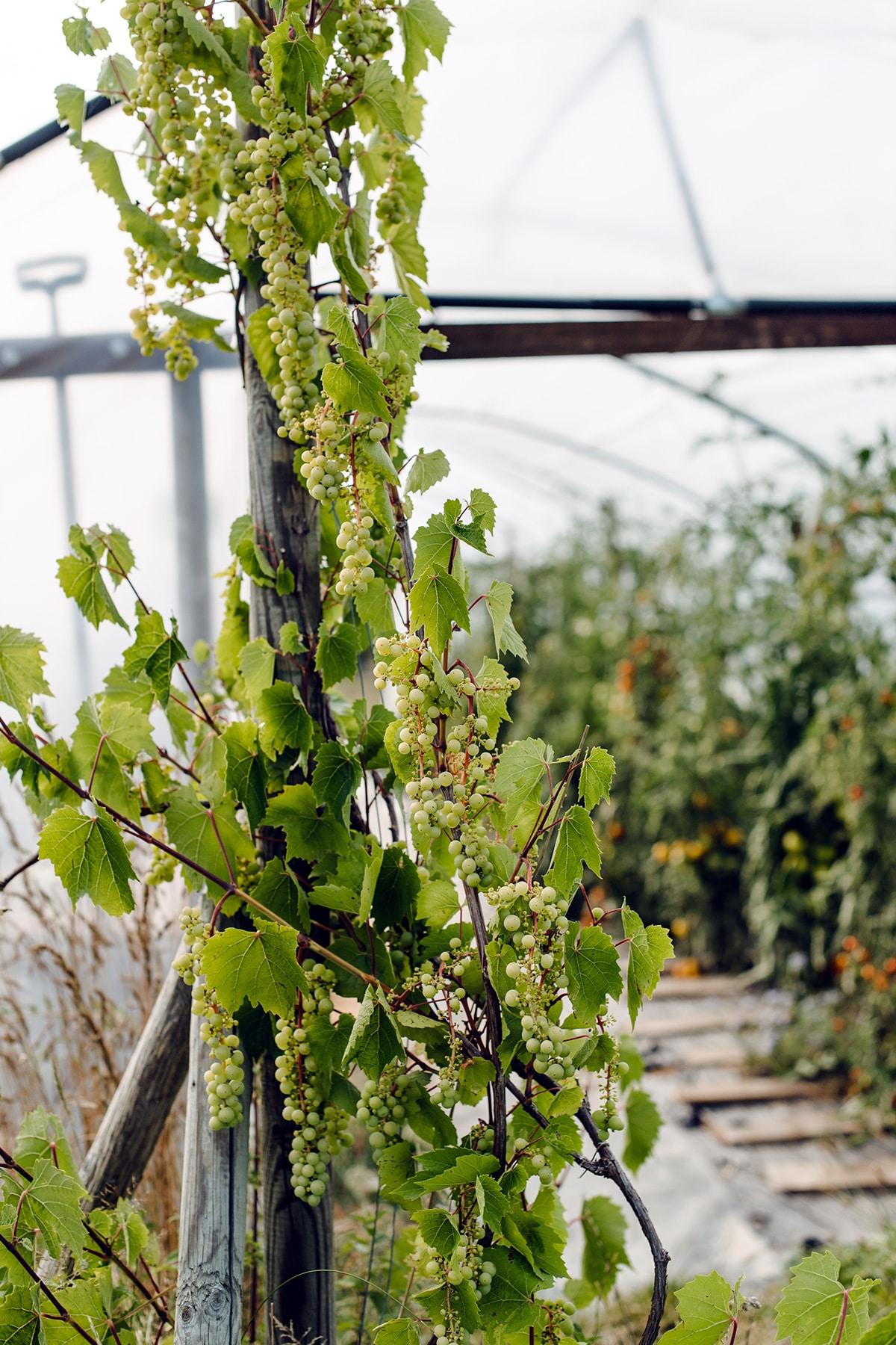 Vigne dans une serre agricole
