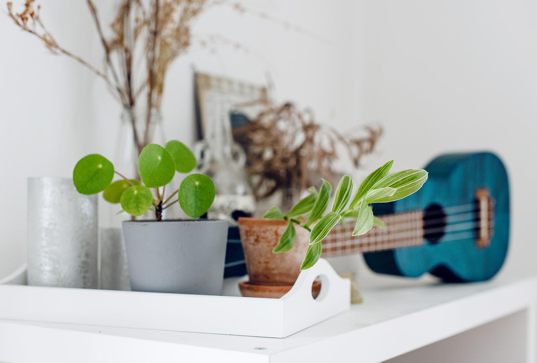 Collection de plantes d'intérieur: pilea et misère
