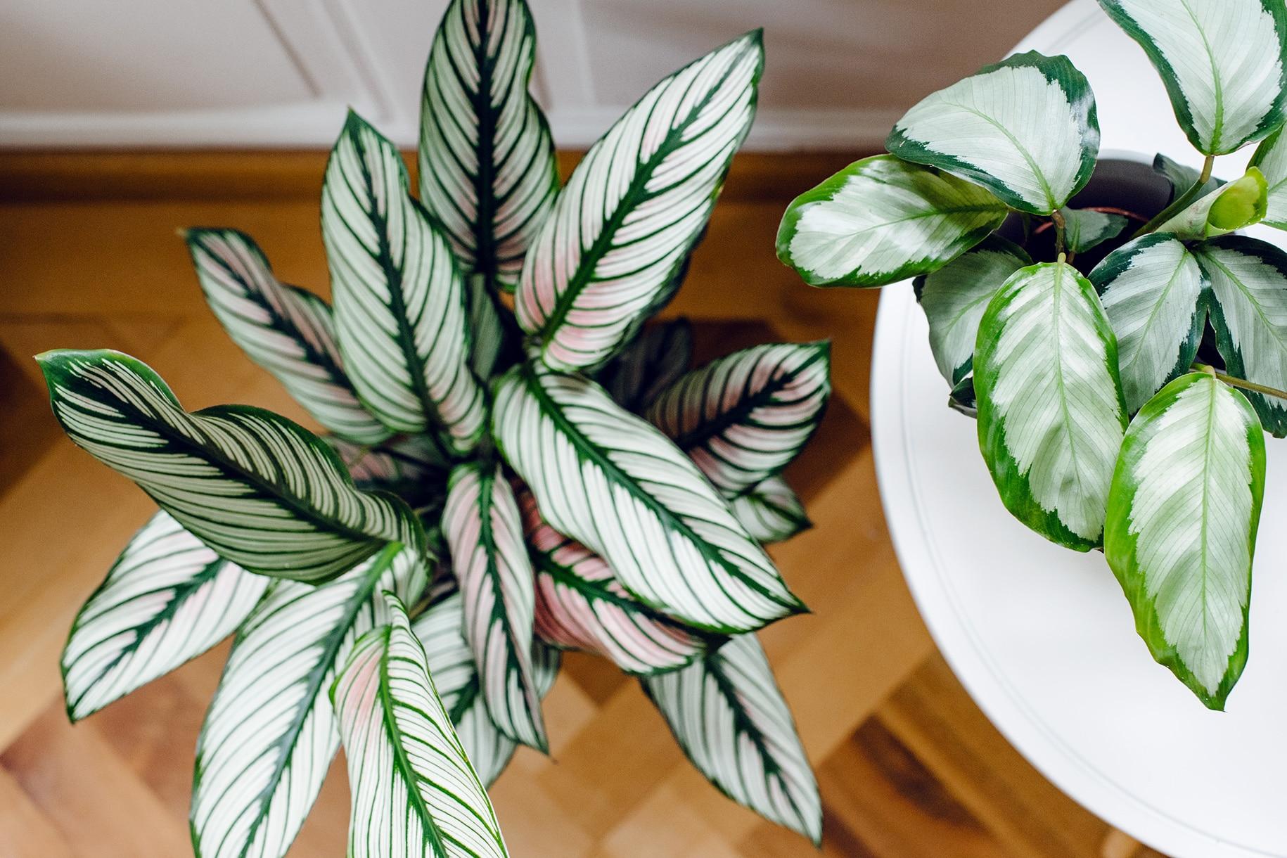 Collection de plantes d'intérieur: différentes variétés de calathea