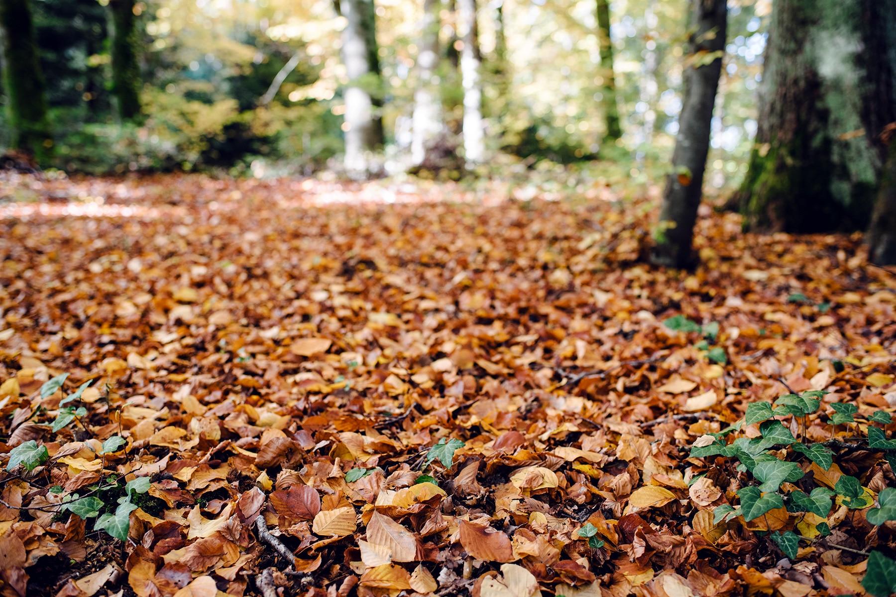 Tapis de feuilles mortes sur le sol d'une forêt –Promenade automnale dans la forêt de Petinesca