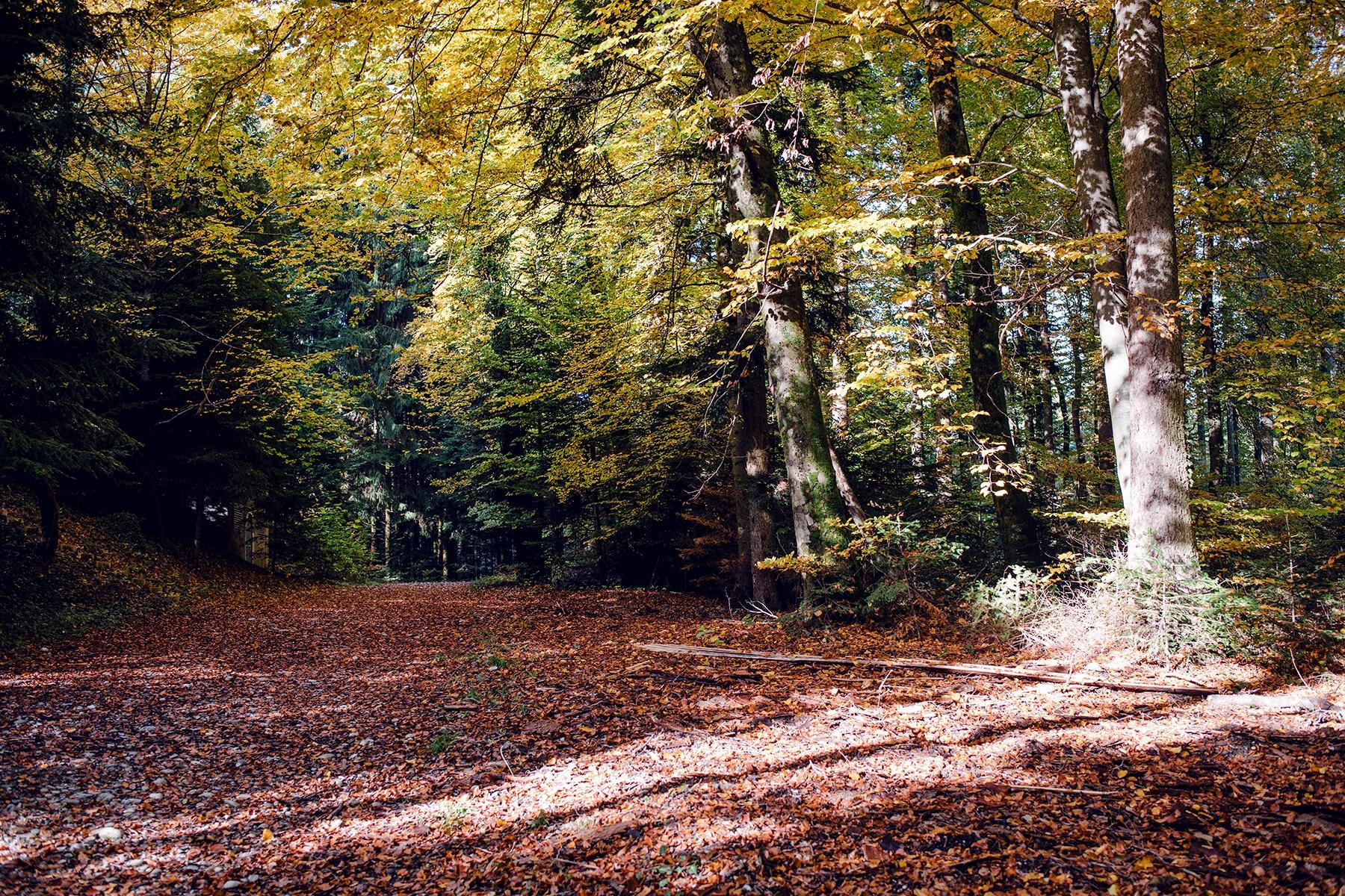 Chemin forestier couvert de feuilles mortes et bordé de hauts arbres au feuillage jaune – Promenade automnale dans la forêt de Petinesca
