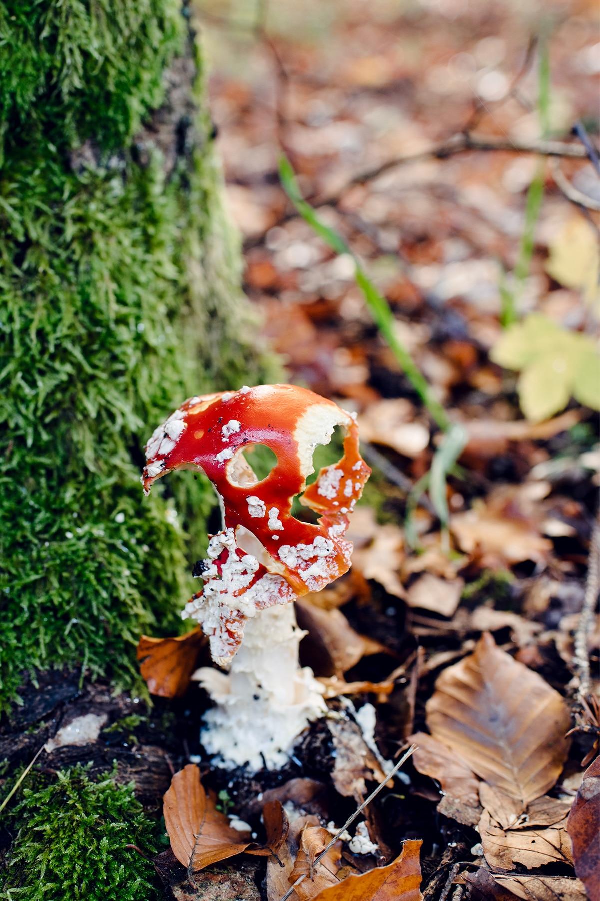 Champignon au chapeau rouge et blanc, en partie décomposé, adossé à un tronc d'arbre recouvert de mousse verte – Promenade automnale dans la forêt de Petinesca