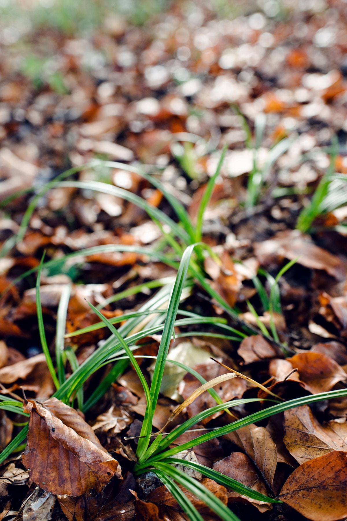 Trois touffes d'herbes vertes émergeant d'un lit de feuilles mortes – Promenade automnale dans la forêt de Petinesca