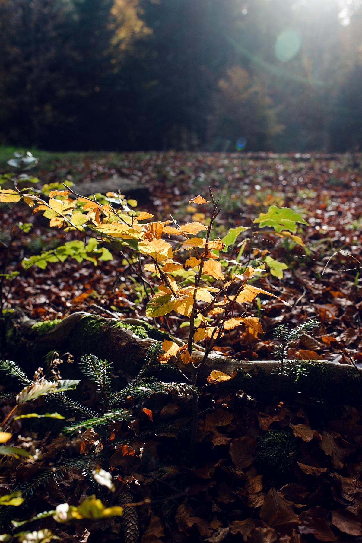 Branche d'un arbuste aux feuilles jaunes, poussant au ras du sol au milieu d'un lit de feuilles mortes – Promenade automnale dans la forêt de Petinesca