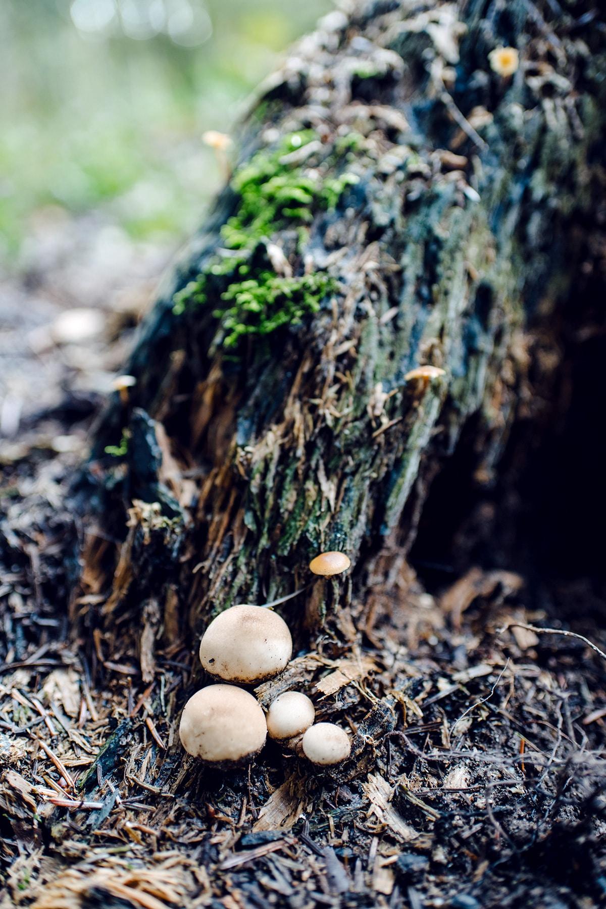 Cinq petits champignons ronds et bruns, poussant au pied d'une souche d'arbe mort –Promenade automnale dans la forêt de Petinesca