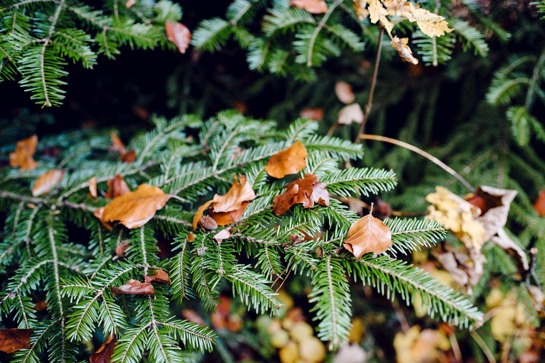 Feuilles mortes oranges posées sur une branche de sapin –Promenade automnale dans la forêt de Petinesca