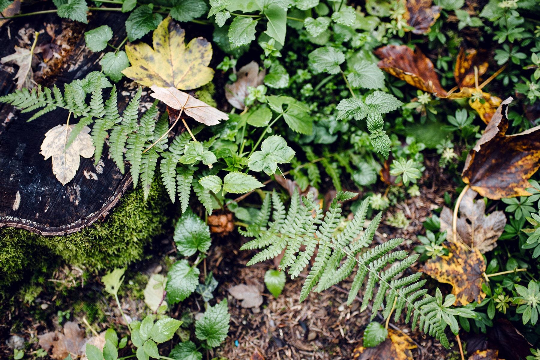 Différents végétaux verts et jaunes, dont des branches de fougère, sur le sol de la forêt –Promenade automnale dans la forêt de Petinesca