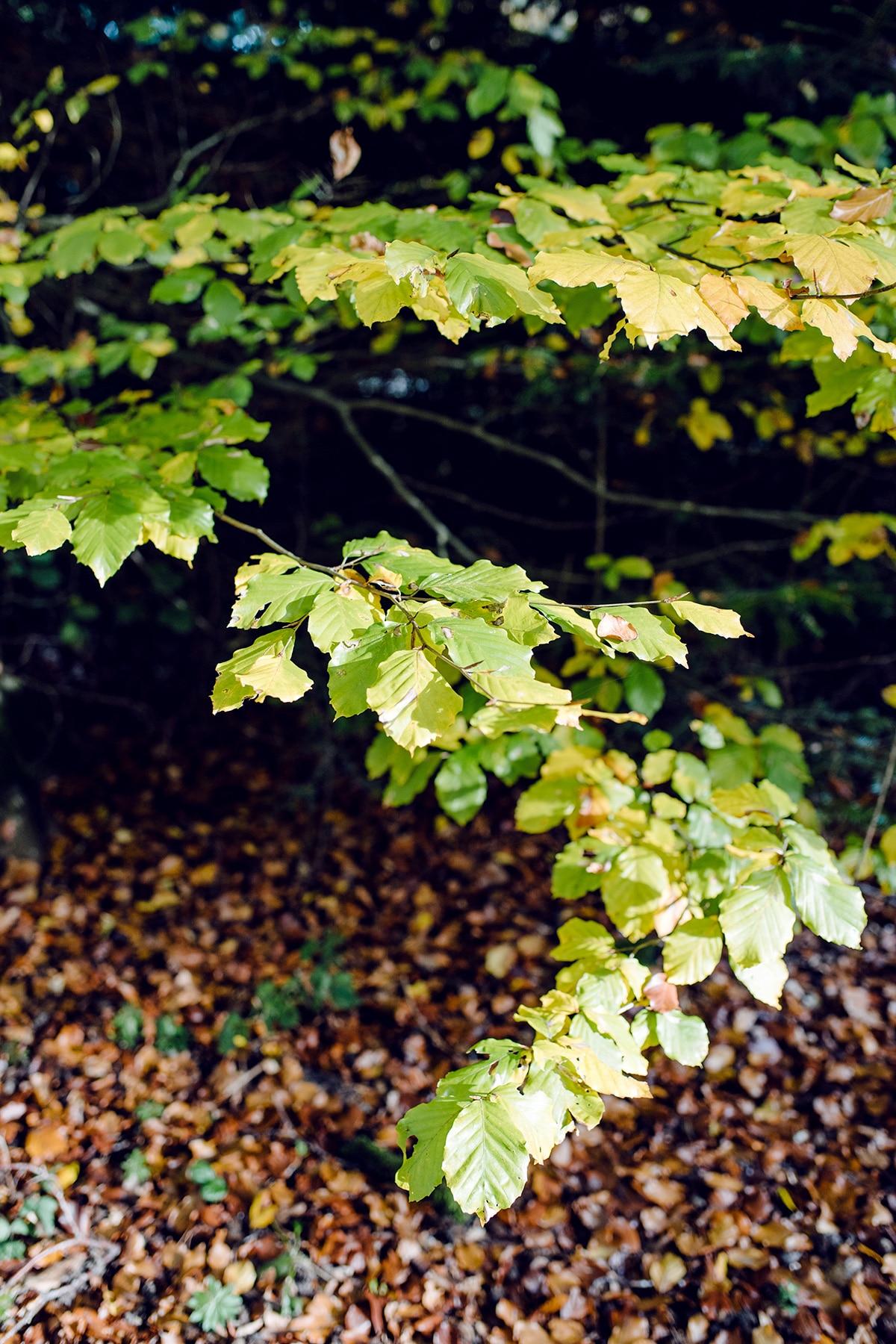 Branche d'arbre dont le feuillage commence à jaunir –Promenade automnale dans la forêt de Petinesca