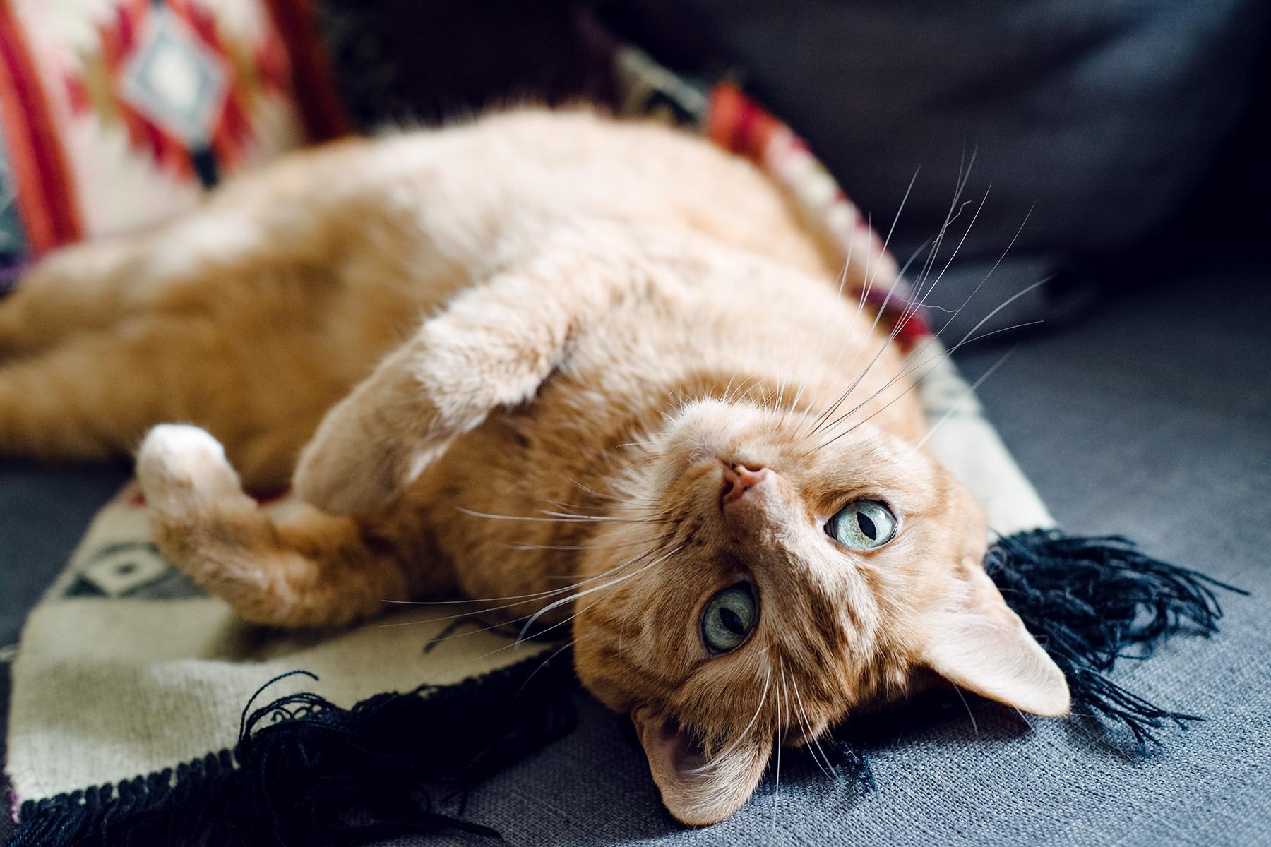 Mon petit chat roux qui prend la pose sur le canapé