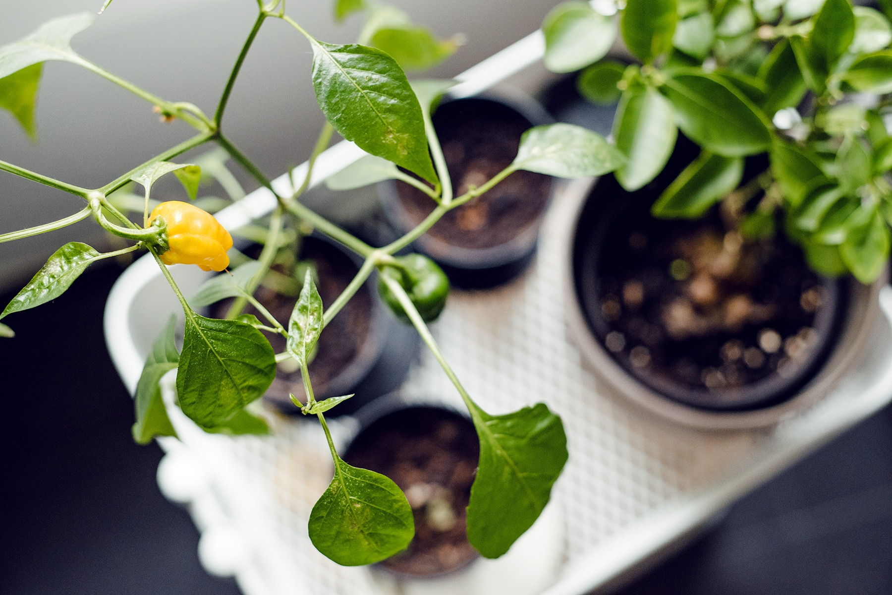 Petit plant de poivrons jaunes sur une desserte à la cuisine