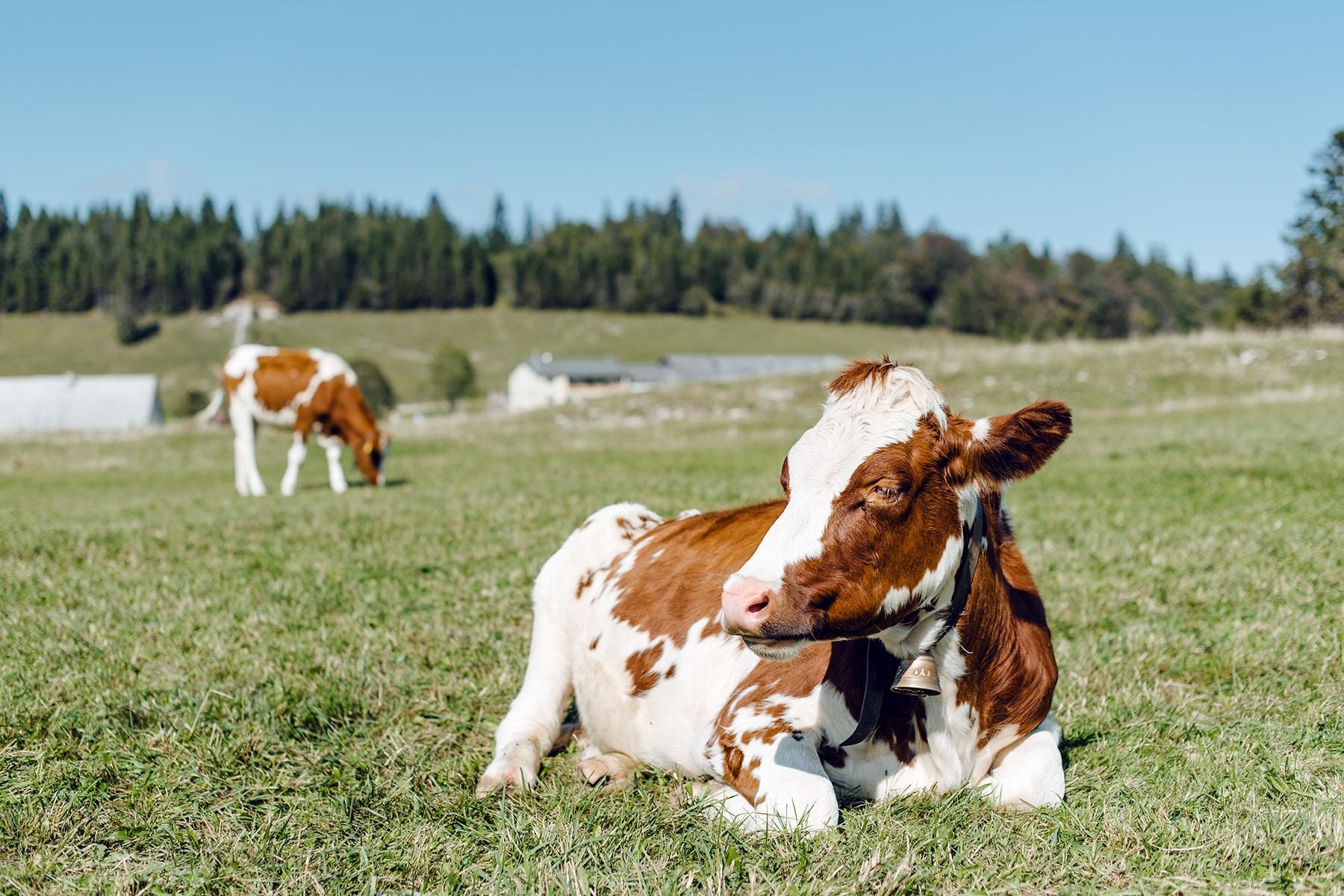 Balade sur le Grenchenberg – vaches dans un pâturage du Jura