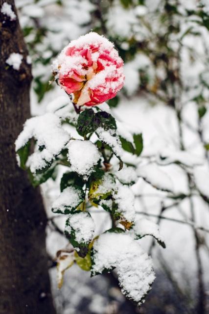 Rose en partie fanée, saupoudrée de neige fraiche