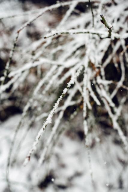 Branches d'un arbuste partiellement recouverte de neige fraiche